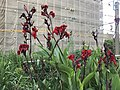 Flowers of Canna indica 20190811.jpg