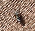 Fly...Pollenia sp ? (33890019595).jpg