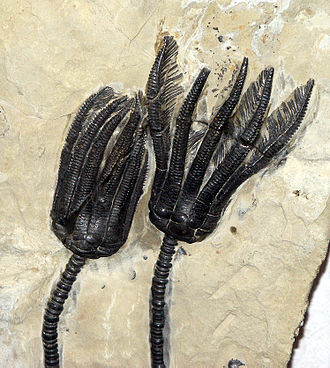 Echinoderm - Fossil crinoid crowns