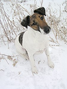 Fox terrier smooth.jpg