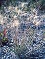 Foxtail Barley in seed (3283241822).jpg