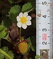 Fragaria iinumae (with scale).jpg