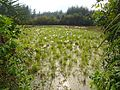 Free range geese in Hainan - 01.jpg