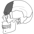 Frontal Bone Simple.png