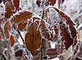 Frosted Leaves 6 (5237509079).jpg