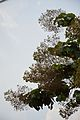 Fruits and Leaves - Tectona Grandis - Hijli - West Midnapore 2015-09-28 4151.JPG