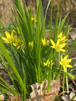 Gagea whole plant.jpg