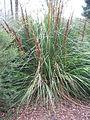Gahnia australis (21204012239).jpg