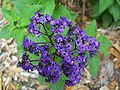 Gainesville FL Kanapaha Botanical Gardens flower03.jpg