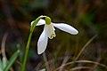 Galanthus nivalis (6839300050).jpg