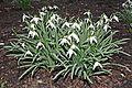 Galanthus nivalis kz1.JPG