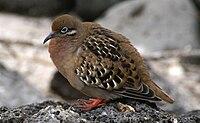 Galapagos dove (Zenaida galapagoensis) -Espanola -Gardner Bay