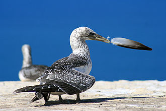 Australasian gannet - Juveniles have spotted brown plumage.
