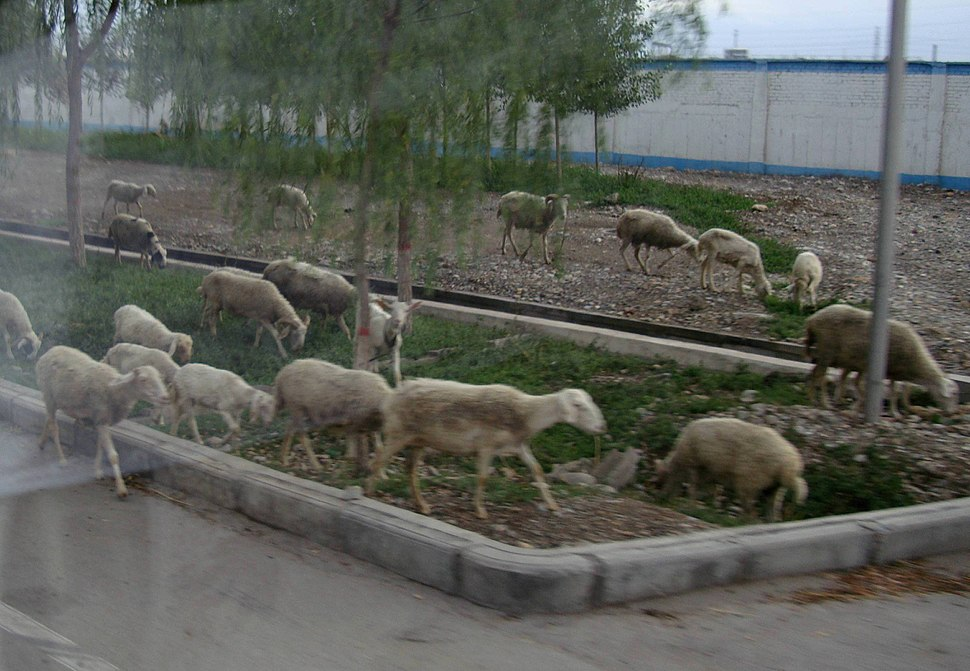 Gansu Sheep