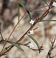 Gayophytum racemosum blackfoot groundsmoke flowers close.jpg