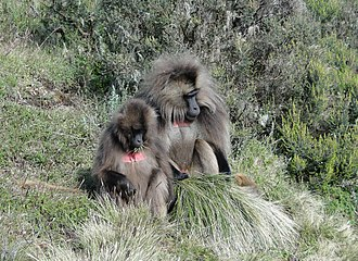 Simien Mountains National Park - Image: Geladas near Chennek