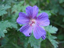 Storchschn bel wikipedia - Duftende gartenpflanze ...