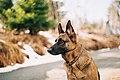 German Shepherd (Unsplash).jpg
