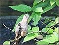 Giant Hummingbirds (7776345980).jpg