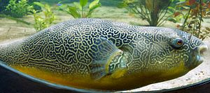 Mbu pufferfish - Image: Giant Puffer fish skin pattern