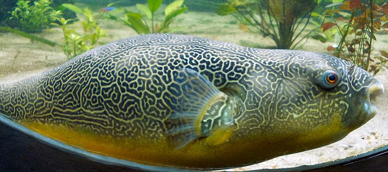 File giant puffer fish skin pattern jpg wikimedia commons for Giant puffer fish