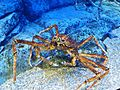Giant Spider Crab.jpg