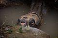 Giant Tortoise - Flickr - p a h.jpg