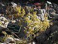 Giardino botanico alpino Viote - Galium verum3.jpg
