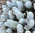 Gibbaeum pubescens - N Barrydale 1.jpg