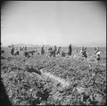 Gila River Relocation Center, Rivers, Arizona. Evacuee farmers are here harvesting Daikon, a large . . . - NARA - 538582.tif
