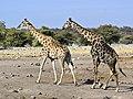 Giraffa camelopardalis angolensis (courting).jpg