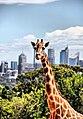 Giraffa camelopardalis reticulata in Taronga Zoo (5407040408).jpg