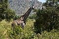 Giraffe, Tarangire National Park (21) (28434425480).jpg