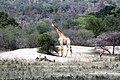 Giraffe (24304801538).jpg