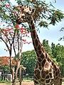 Giraffe posing for camera at Mysore Zoo.jpg