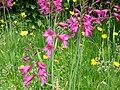 Gladiolus byzantinus02.jpg