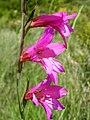 Gladiolus communis. Gladiolu.jpg