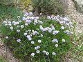 Globularia sp - Flickr - peganum.jpg