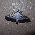 Glyphodes perspectalis by OpenCage.jpg