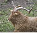 Goat (5381986723).jpg
