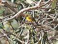 Golden Bush Robin (Male) I2 IMG 3435.jpg