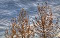 Golden Poplars (5148636655).jpg
