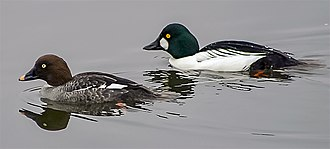 Common goldeneye - Busephala clangula Pair