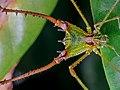 Gonyleptidae - Iguapeia melanocephala - Salto Morato - Paraná.jpg