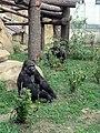 Gorilla gorilla 06.JPG