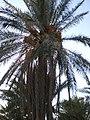 Gousbi tree.JPG