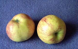 Gravenstein Apple cultivar