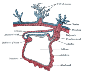Section through the embryo