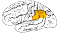 Gray726 inferior parietal lobule.png