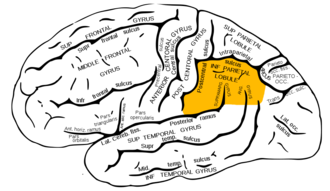 Inferior parietal lobule - Lateral surface of left cerebral hemisphere, viewed from the side. (Inferior parietal lobule is shown in orange.)
